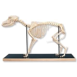 Dog Skeleton (Canis domesticus)