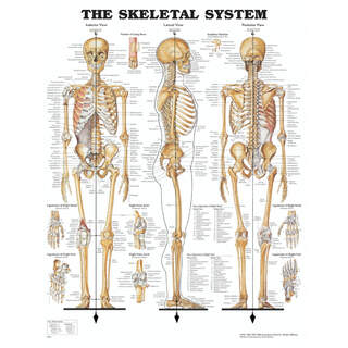 Anatomy posters - Skeleton - laminated