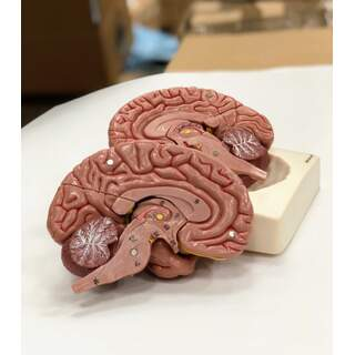 Brain model in eight parts