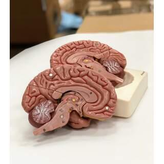 Brain model in eight parts
