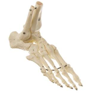 Foot skeleton SOMSO quality