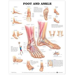 Anatomy poster - Foot / Ankle