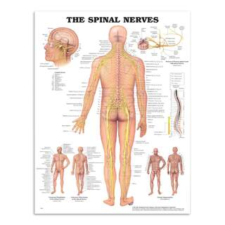 Anatomy poster - Spinal Nerves