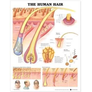 Human hair laminated poster English