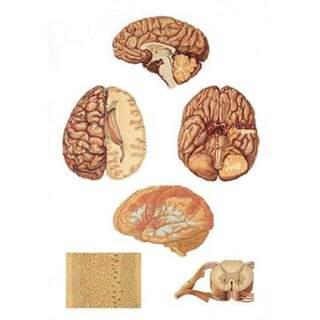 Central nervous system 84x200 cm