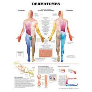 Poster of dermatoms in English