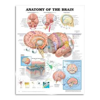 Brain Anatomy - Poster