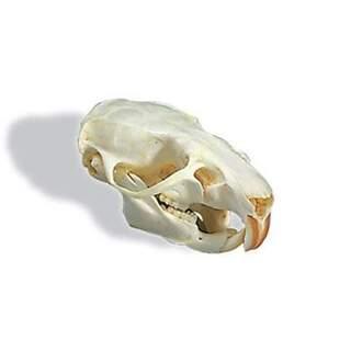 Rat skull (Rattus rattus)