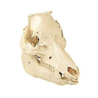 Cranium pig (Sus scrofa) - Main