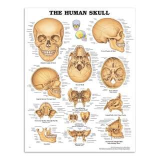 The skull laminated poster (The Human Skull)