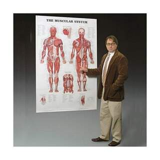 Muscular system laminated poster