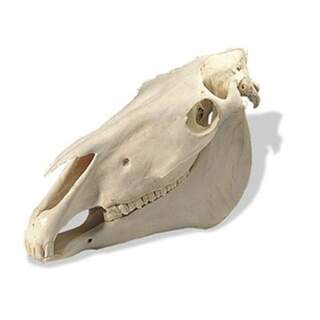 Horse Crane (Equus Caballus)