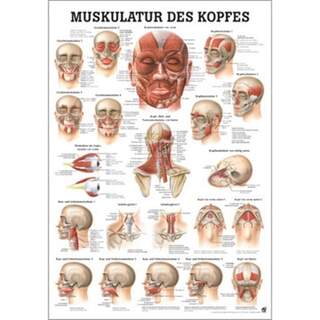 Head musculature German / pure Latin