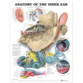The inner ear English laminated (Anatomy of the inner ear)