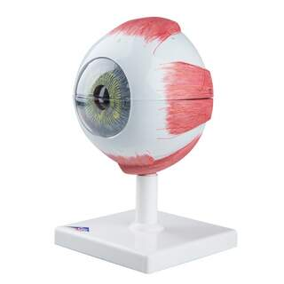 Eye model in 5x natural size in six parts