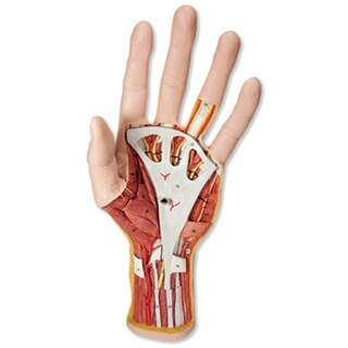 Advanced hand model with two removable parts