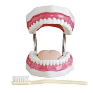 Dental hygienist tooth model
