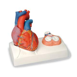 Heart model with focus on the flaps and cast for a true heart
