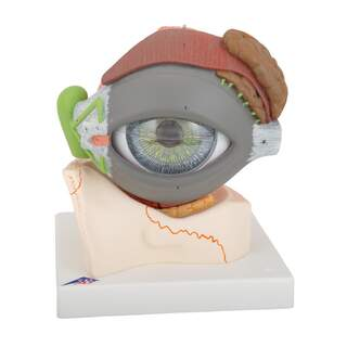 Anatomical model of eye in 5x natural size in eight parts