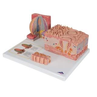 Microanatomy - heavy