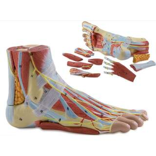 Foot model with ligaments, muscles, blood vessels and nerves - 9 parts
