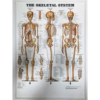 Skeletal System 3D - Anatomi plakat