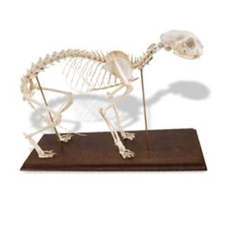Genuine Cat Skeleton (Felis Catus) with flexible joints