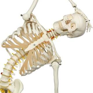 flexible skeleton from 3B