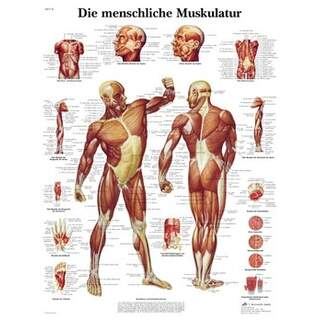 Anatomy poster - Musculature