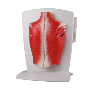 Model of the back muscles in 4 parts