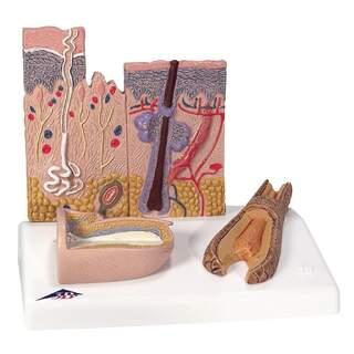 Skin model and nail model