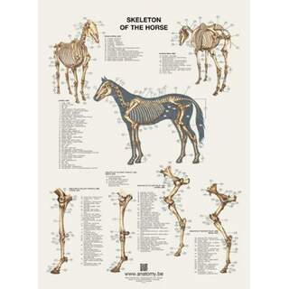 The horse's skeleton poster 60x80 cm