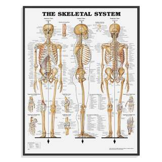 Anatomy posters - Skeleton