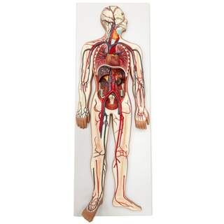 Model of the cardiovascular system