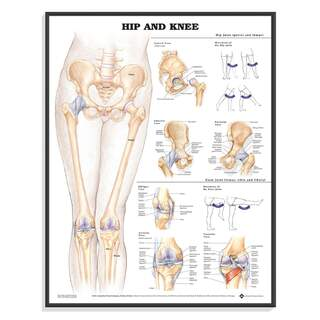 Anatomy poster - Hip / Knee