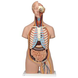 Anatomy Doll - torso 16 parts