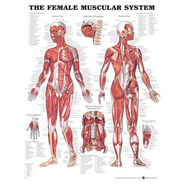 Female Muscle Anatomie Poster 51x66 Cm Muscle Posters Musculo