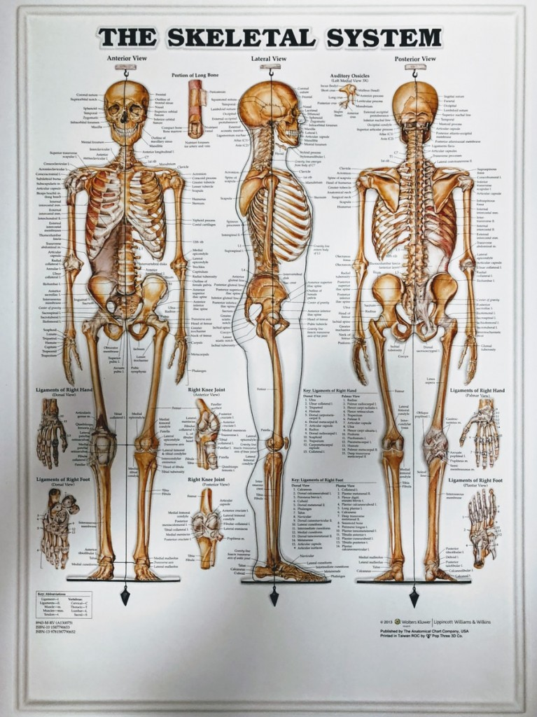 Skeletal System 3d Anatomi Plakat Skeleton Posters Musculo