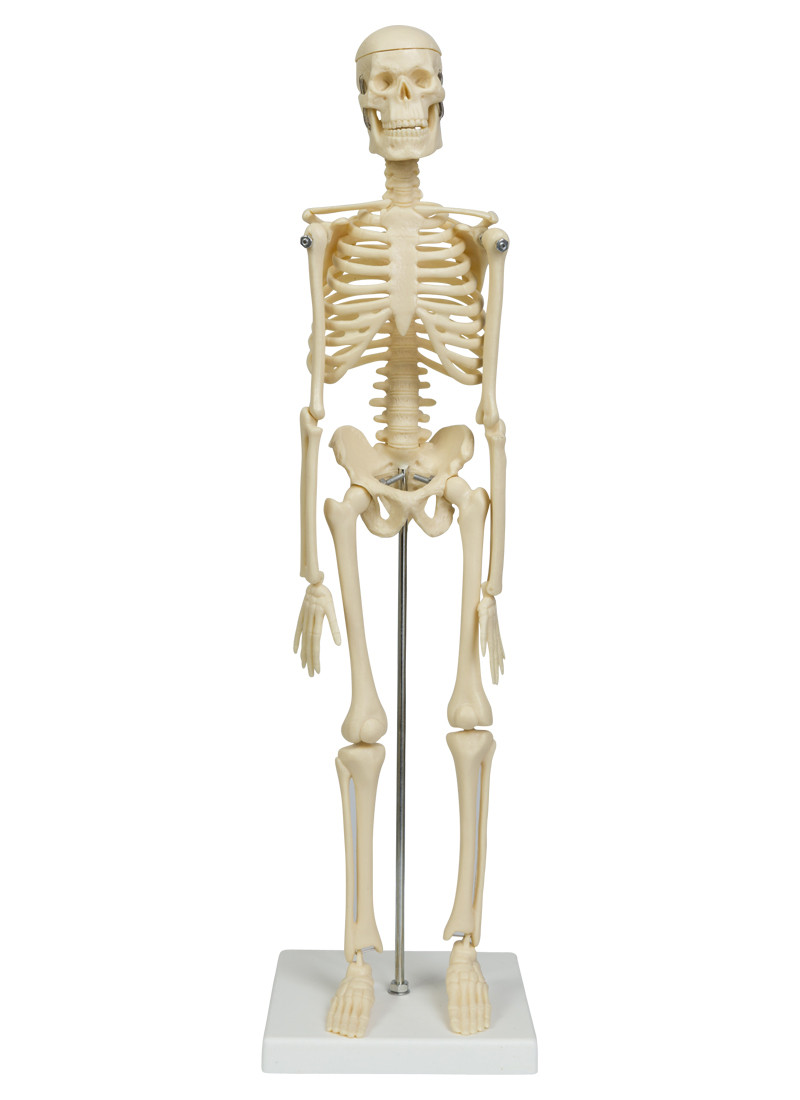 micro skeleton 45 cm bone models locomotor system anatomical models anatomy swehealth. Black Bedroom Furniture Sets. Home Design Ideas
