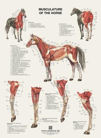 Buy Horse Posters Flip Over Format Anatomy Animal Posters