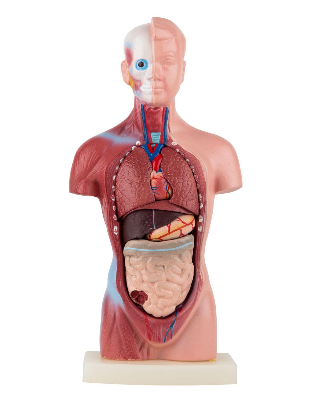 Mini torso 15 parts | Torso / body puppets | Anatomical Models ...