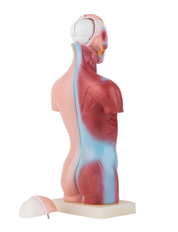 Ziemlich Torso Organ Anatomie Bilder Anatomie Ideen Finottifo