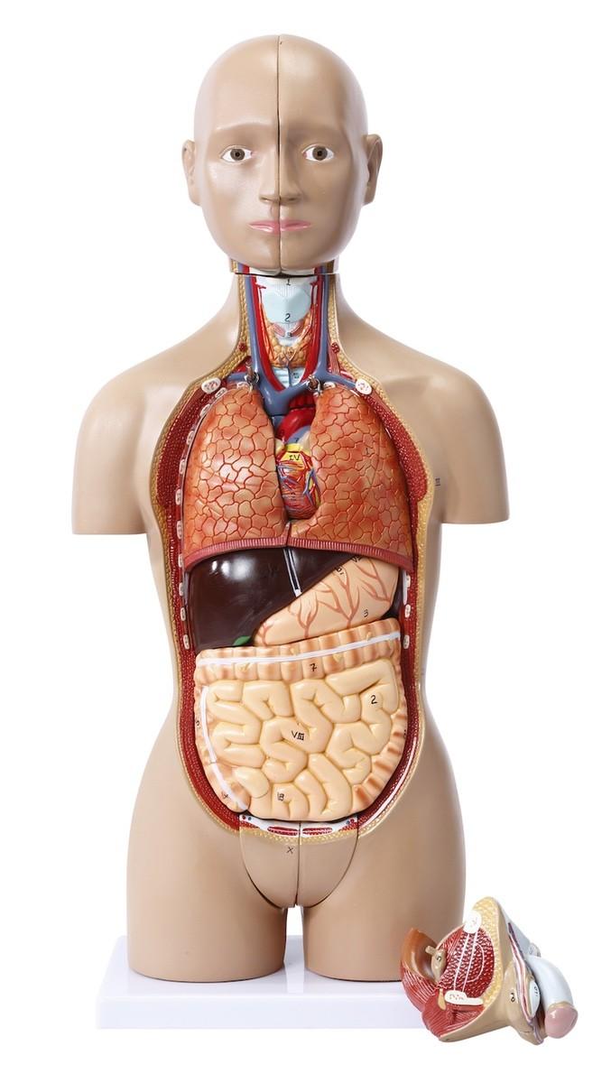 16 shared mini torso with interchangeable genitalia | Torso / body ...