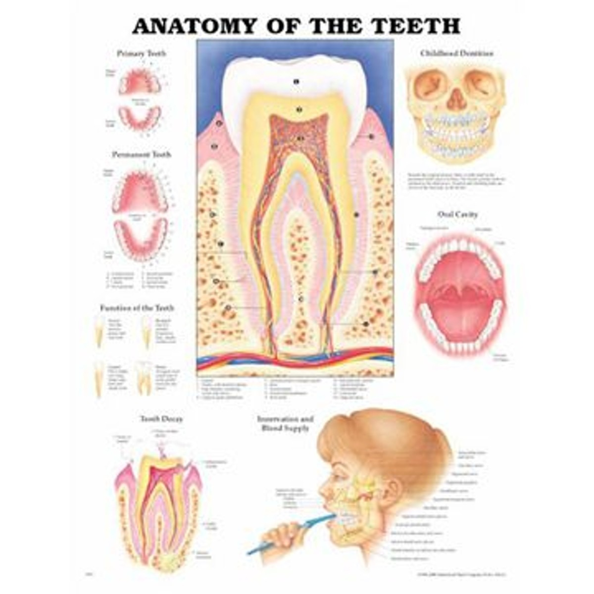 Tändernas anatomi laminerad affisch engelsk (Anatomy of the teeth)