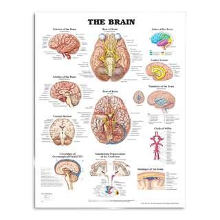 Brain laminated poster