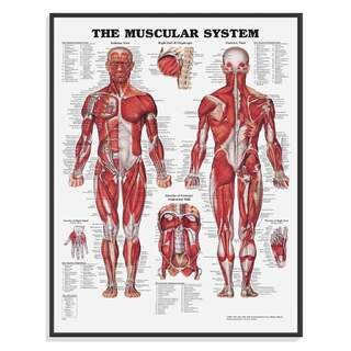 Anatomy poster - Muscles