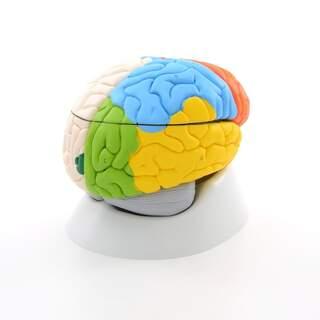 8-part brain model