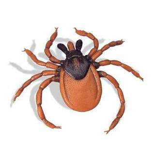 Common Tick (Ixodes ricinus)