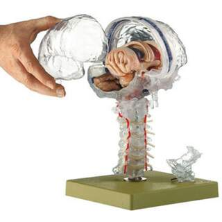 Transparent brain model