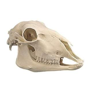 Sheep skull in plastic (Ovis aries)